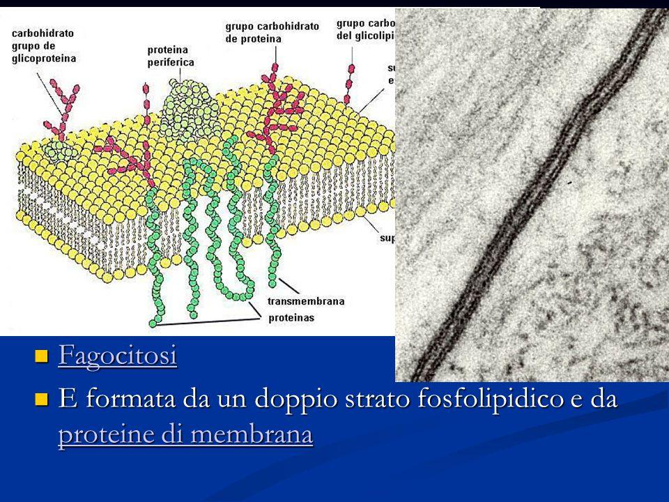 La membrana cellulare La membrana cellulare circonda la cellula e la isola dell ambiente esterno.