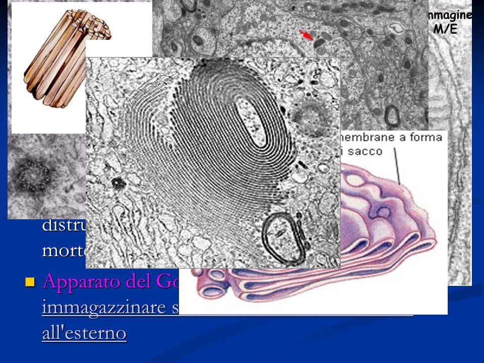 Centrioli: organuli a forma cilindrica che intervengono nella riproduzione della cellula