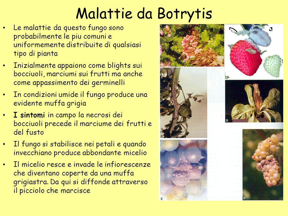 Malattie da Botrytis Le malattie da questo fungo sono probabilmente le piu comuni e uniformemente distribuite di qualsiasi tipo di pianta.