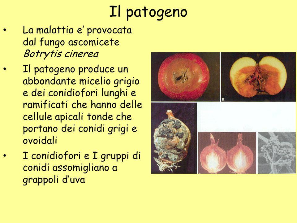 Il patogeno La malattia e' provocata dal fungo ascomicete Botrytis cinerea.