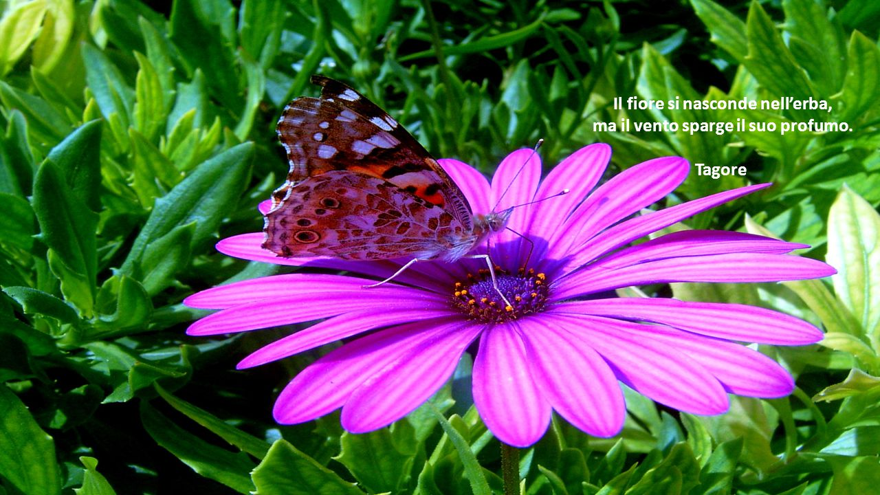Il fiore si nasconde nell'erba, ma il vento sparge il suo profumo.