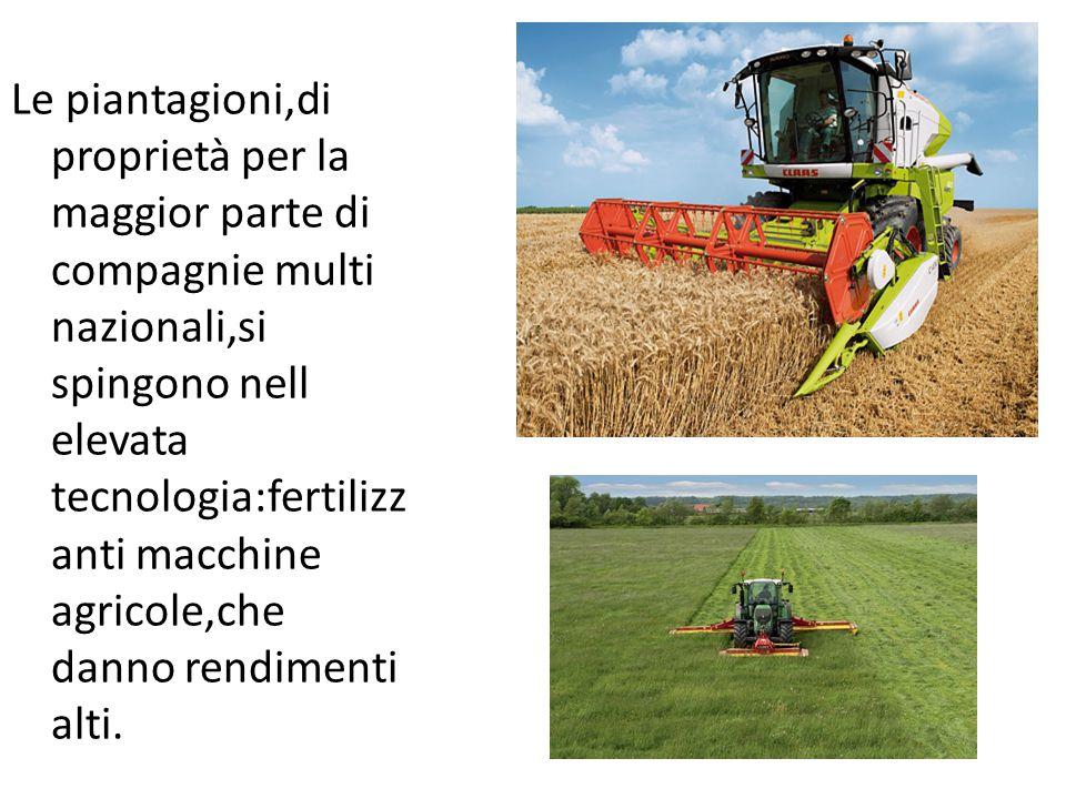 Le piantagioni,di proprietà per la maggior parte di compagnie multi nazionali,si spingono nell elevata tecnologia:fertilizzanti macchine agricole,che danno rendimenti alti.