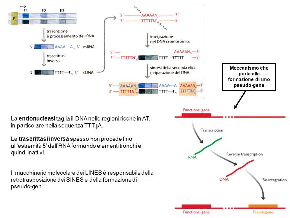 Meccanismo che porta alla formazione di uno pseudo-gene