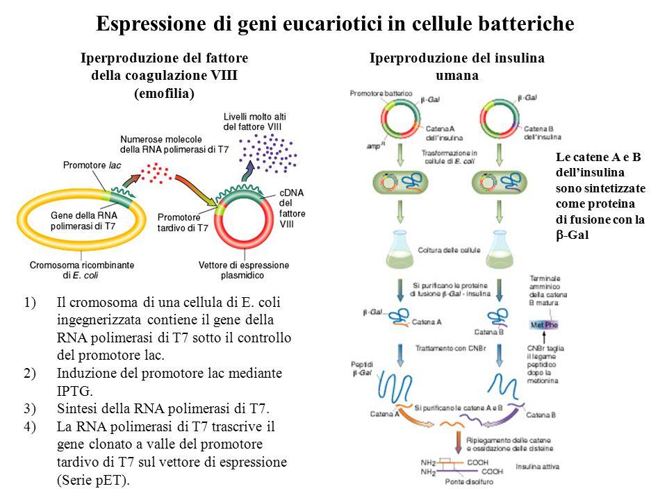 Espressione di geni eucariotici in cellule batteriche