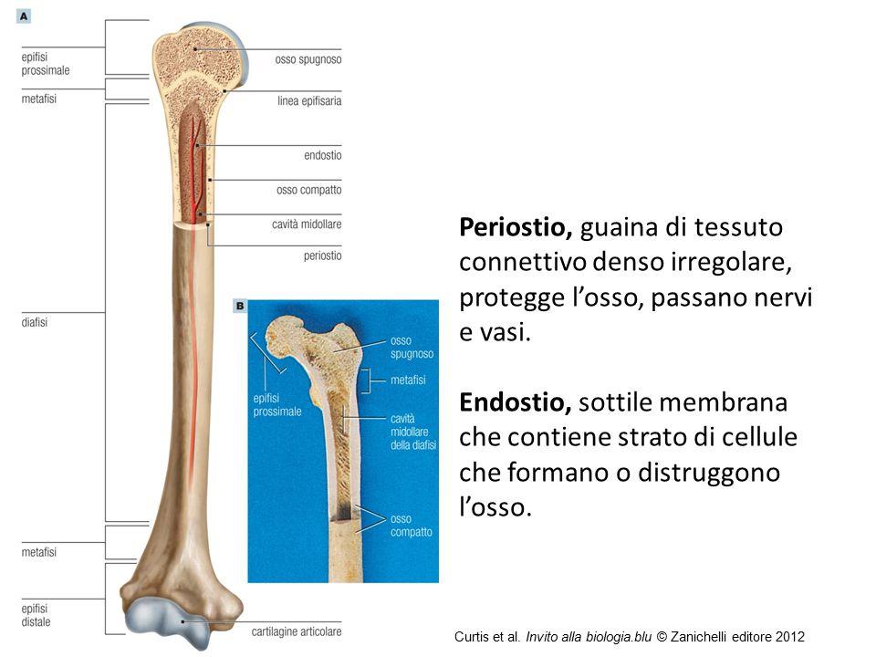 09/09/12 27/11/11. Periostio, guaina di tessuto connettivo denso irregolare, protegge l'osso, passano nervi e vasi.
