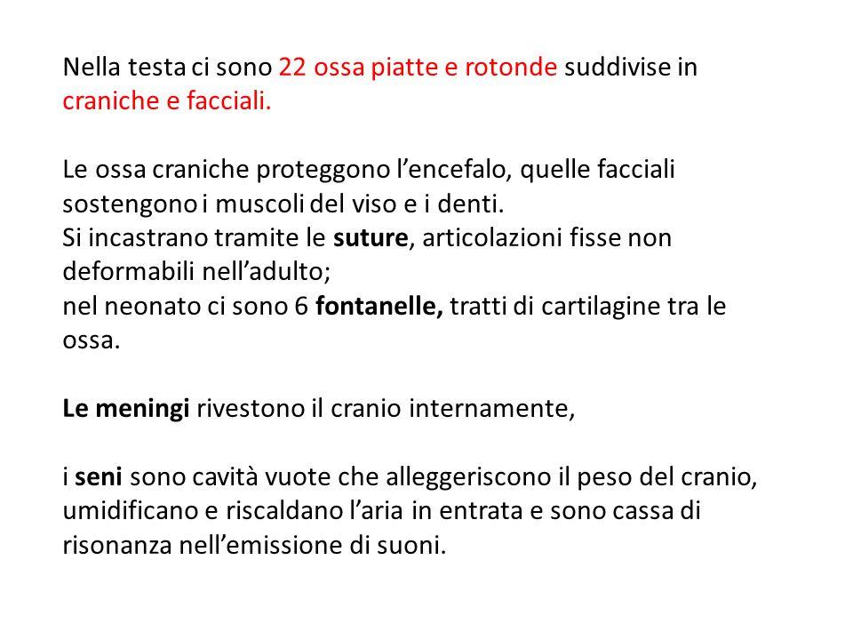 nel neonato ci sono 6 fontanelle, tratti di cartilagine tra le ossa.