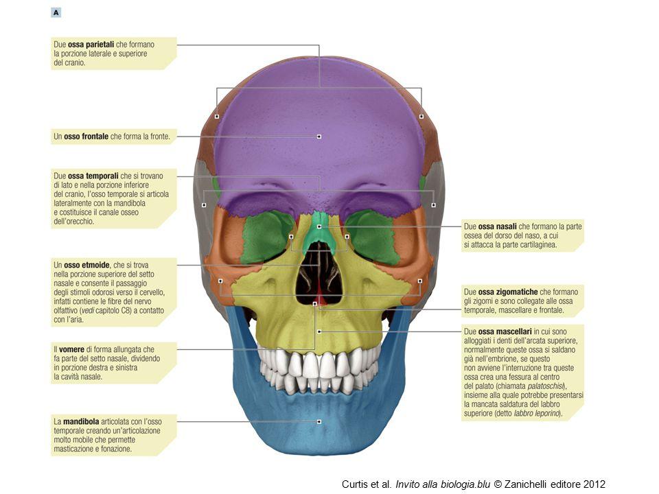 09/09/12 27/11/11 Curtis et al. Invito alla biologia.blu © Zanichelli editore 2012 14 14 14
