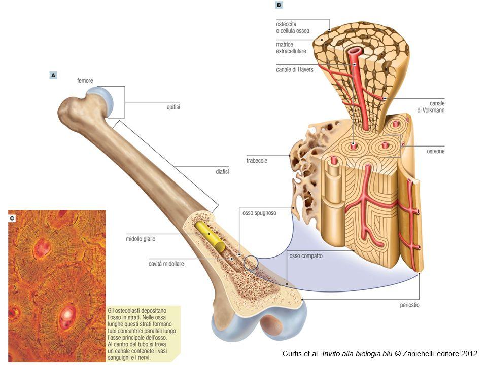 09/09/12 27/11/11 Curtis et al. Invito alla biologia.blu © Zanichelli editore 2012 18 18 18