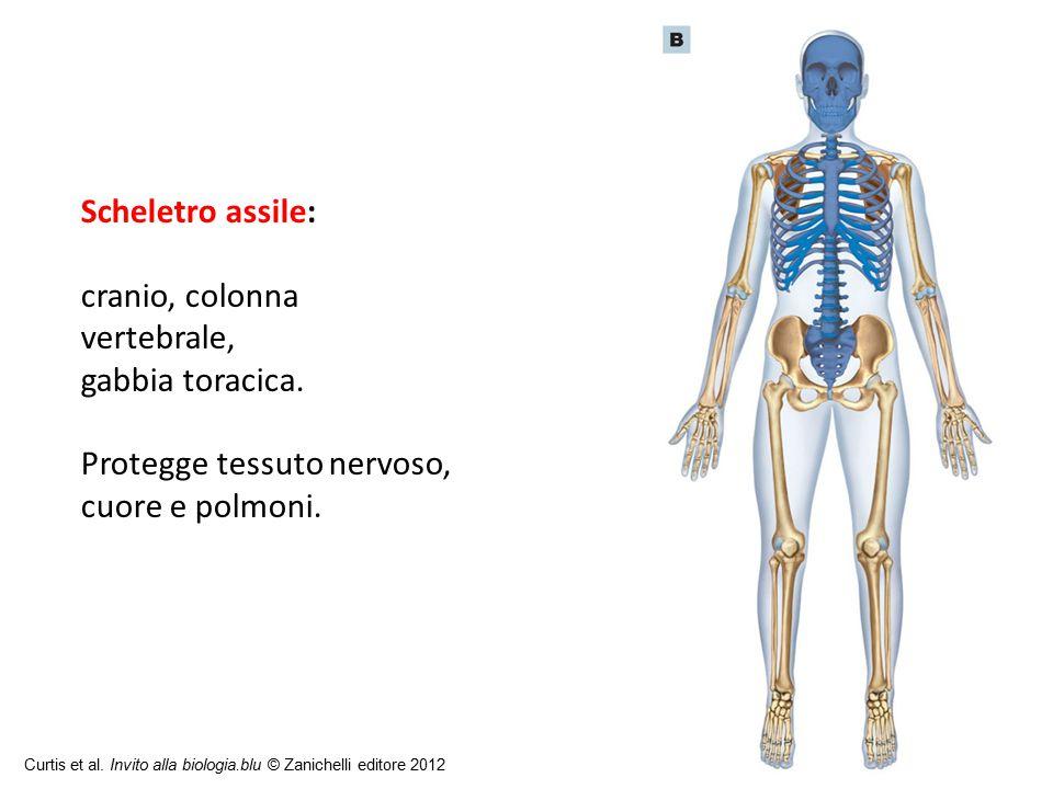 cranio, colonna vertebrale, gabbia toracica.