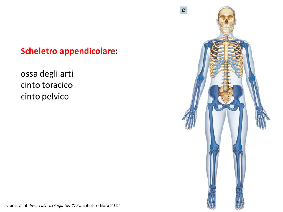 Scheletro appendicolare: ossa degli arti cinto toracico cinto pelvico