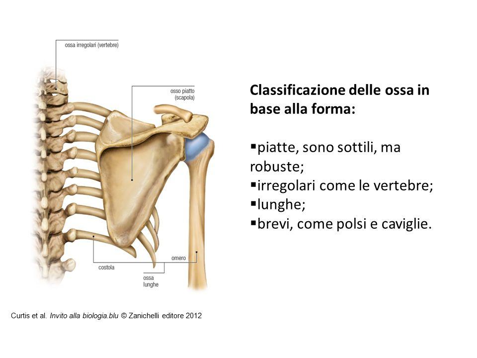Classificazione delle ossa in base alla forma: