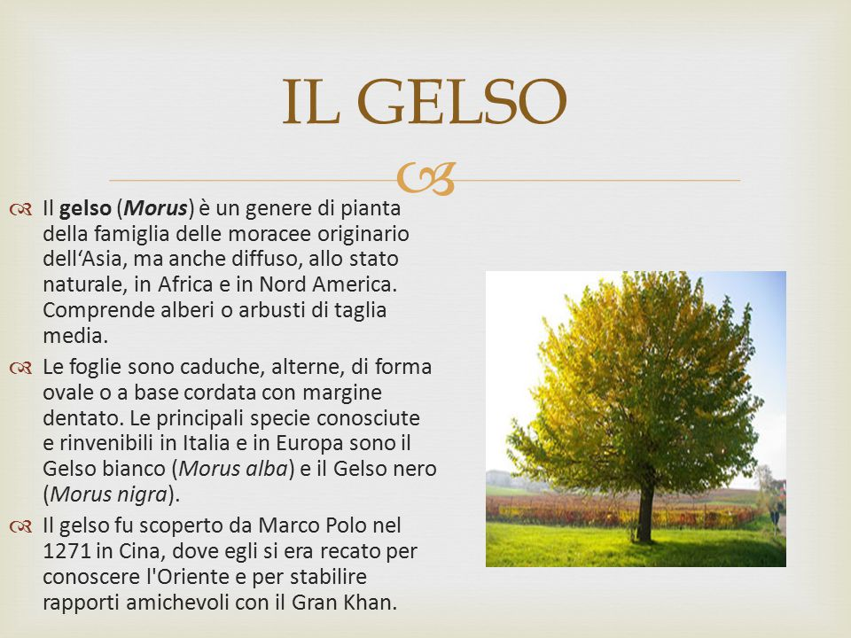 IL GELSO