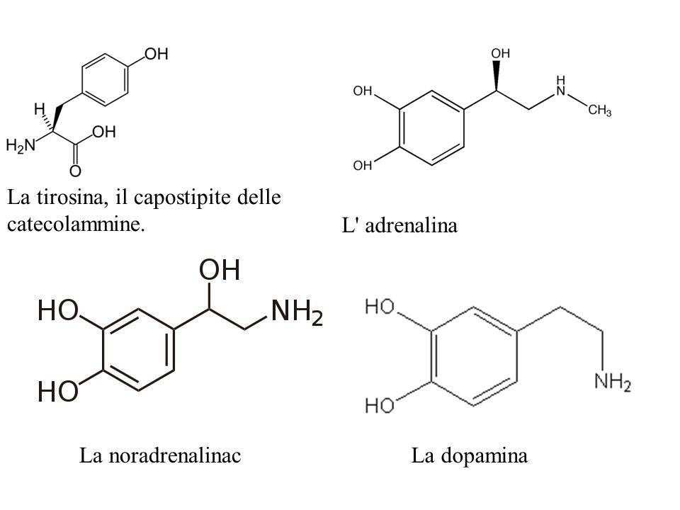 La tirosina, il capostipite delle catecolammine.