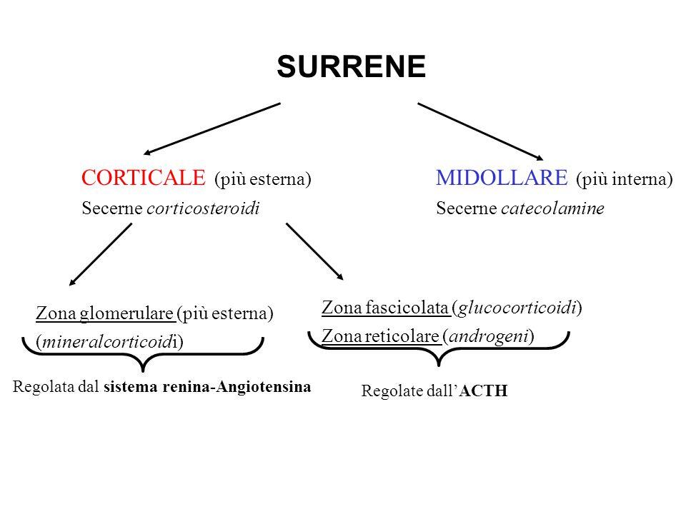 SURRENE CORTICALE (più esterna) MIDOLLARE (più interna)