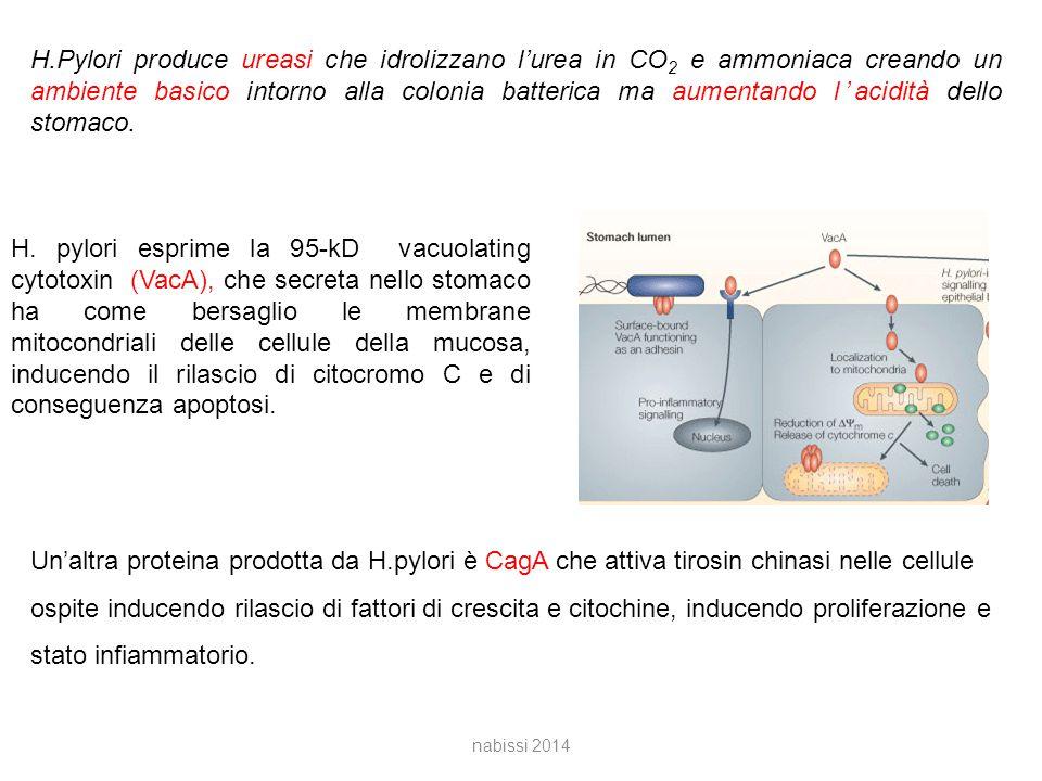 H.Pylori produce ureasi che idrolizzano l'urea in CO2 e ammoniaca creando un ambiente basico intorno alla colonia batterica ma aumentando l'acidità dello stomaco.