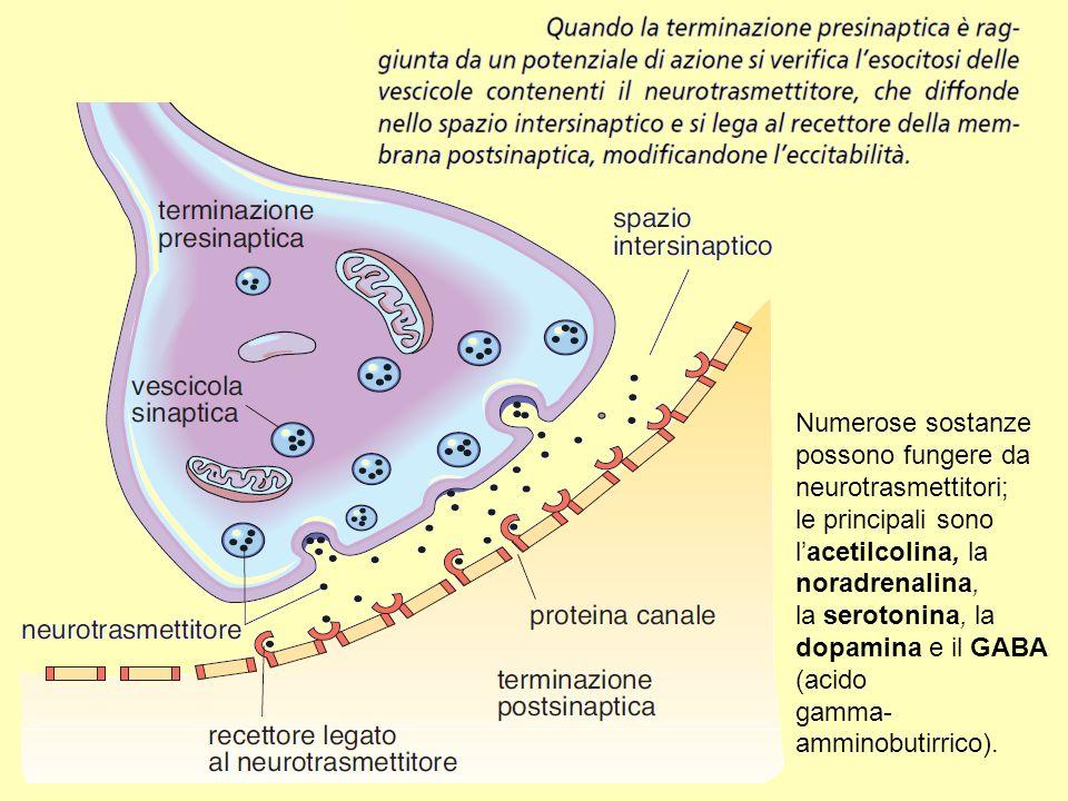 Numerose sostanze possono fungere da neurotrasmettitori;