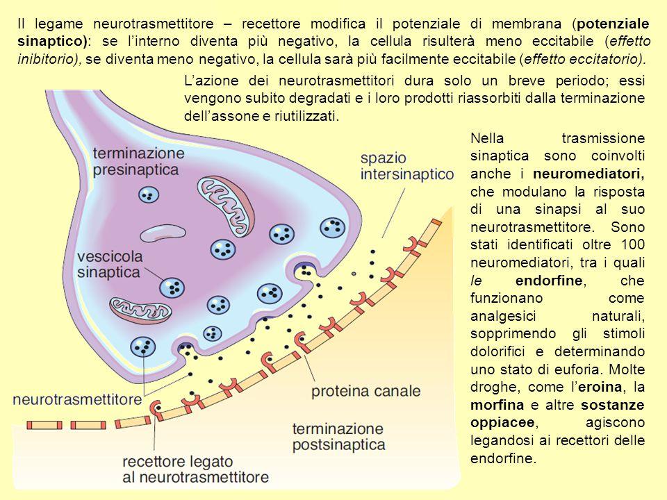 Il legame neurotrasmettitore – recettore modifica il potenziale di membrana (potenziale sinaptico): se l'interno diventa più negativo, la cellula risulterà meno eccitabile (effetto inibitorio), se diventa meno negativo, la cellula sarà più facilmente eccitabile (effetto eccitatorio).
