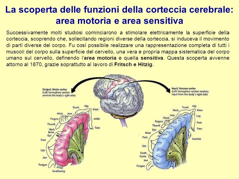 La scoperta delle funzioni della corteccia cerebrale: area motoria e area sensitiva