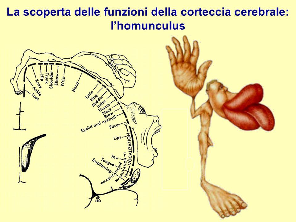 La scoperta delle funzioni della corteccia cerebrale: l'homunculus