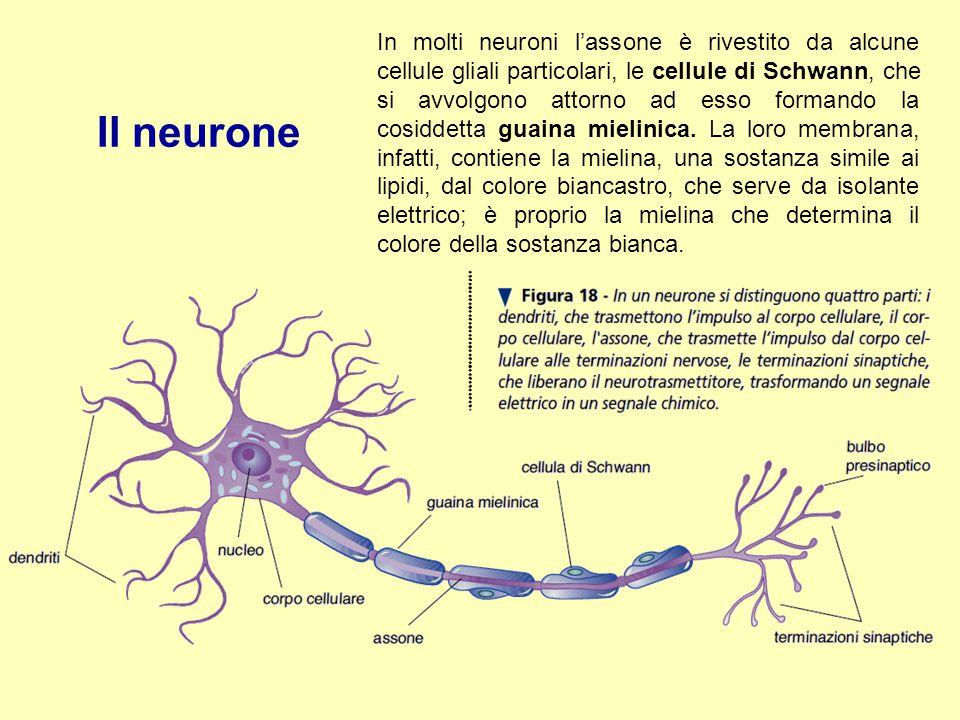 In molti neuroni l'assone è rivestito da alcune cellule gliali particolari, le cellule di Schwann, che si avvolgono attorno ad esso formando la cosiddetta guaina mielinica. La loro membrana, infatti, contiene la mielina, una sostanza simile ai lipidi, dal colore biancastro, che serve da isolante elettrico; è proprio la mielina che determina il colore della sostanza bianca.