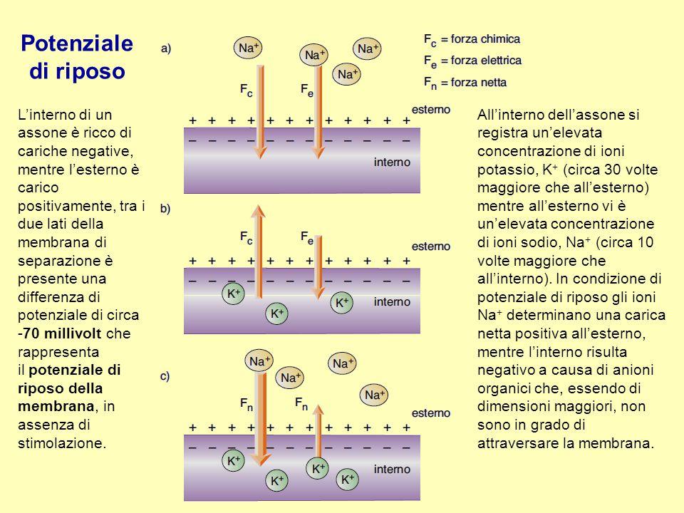 Potenziale di riposo L'interno di un assone è ricco di cariche negative,