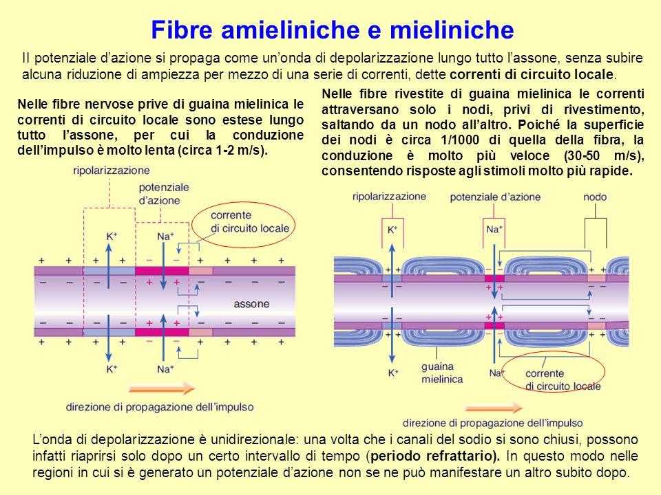 Fibre amieliniche e mieliniche