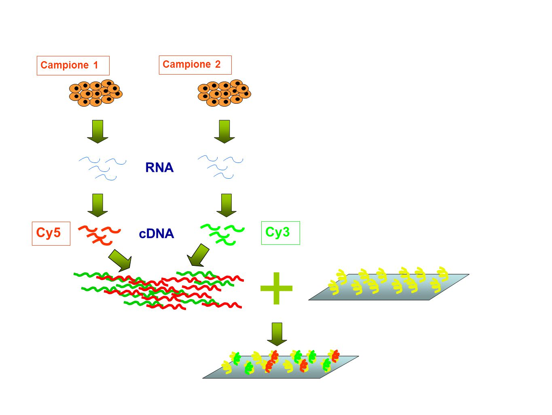 Campione 1 Campione 2 RNA cDNA Cy3 Cy5 +