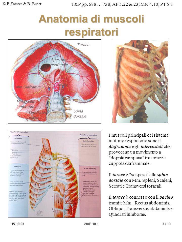 Anatomia di muscoli respiratori