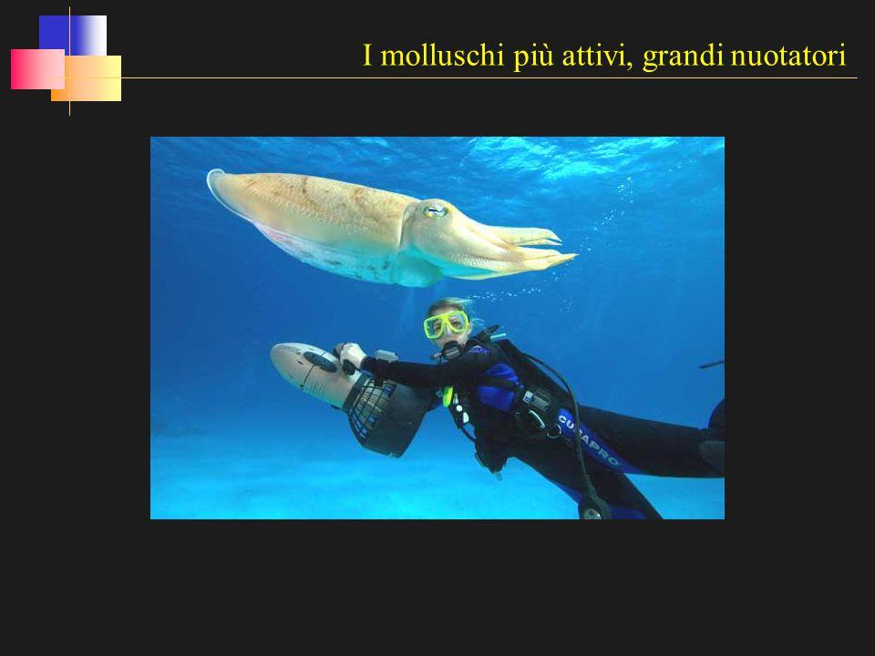 I molluschi più attivi, grandi nuotatori
