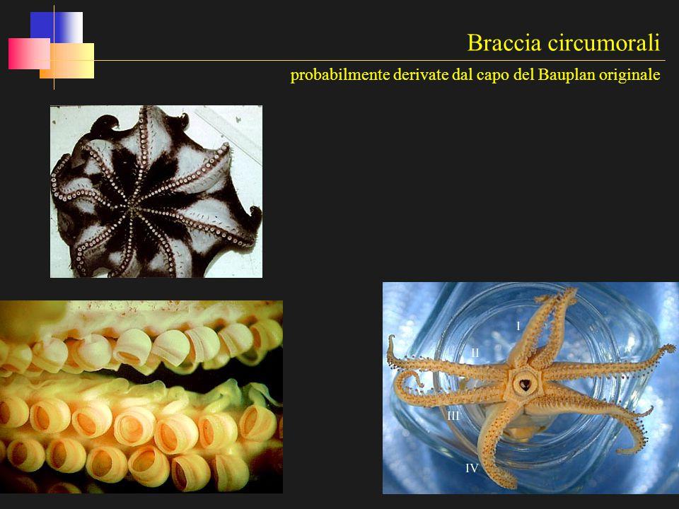 Braccia circumorali probabilmente derivate dal capo del Bauplan originale