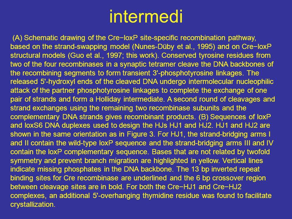 intermedi
