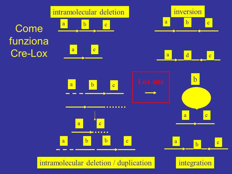 Come funziona Cre-Lox intramolecular deletion inversion