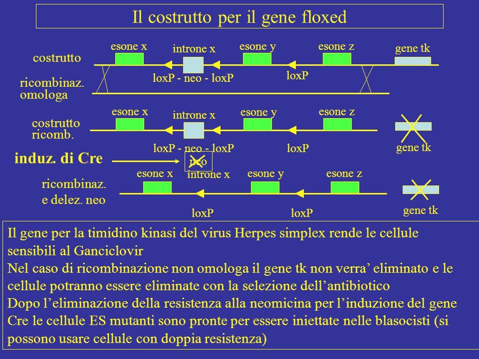 Il costrutto per il gene floxed