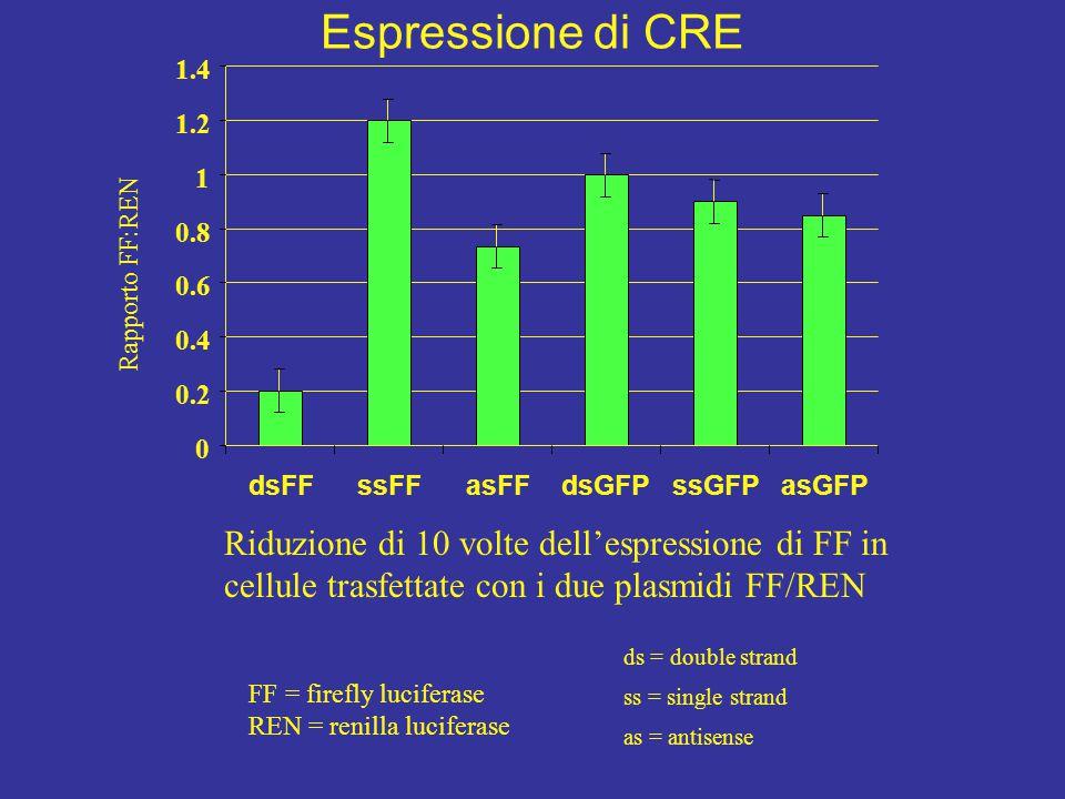 Espressione di CRE 1.4. 1.2. 1. 0.8. Rapporto FF:REN. 0.6. 0.4. 0.2. dsFF. ssFF. asFF. dsGFP.