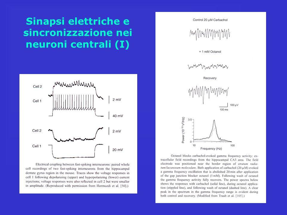 Sinapsi elettriche e sincronizzazione nei neuroni centrali (I)