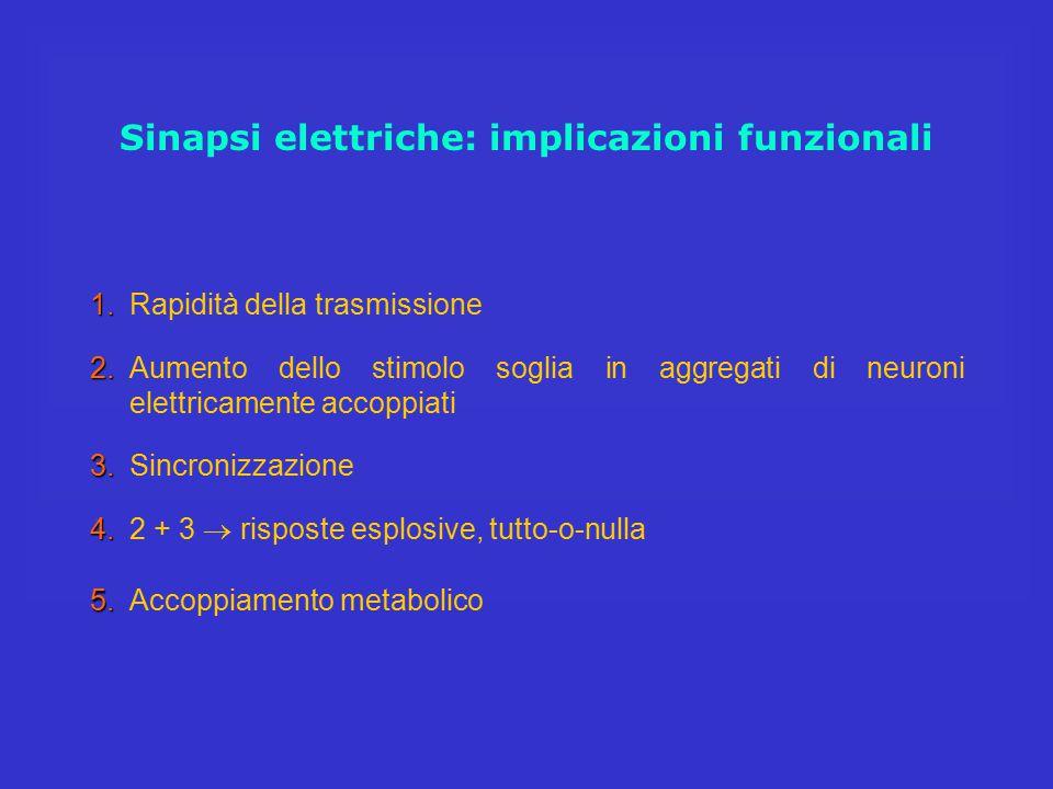 Sinapsi elettriche: implicazioni funzionali