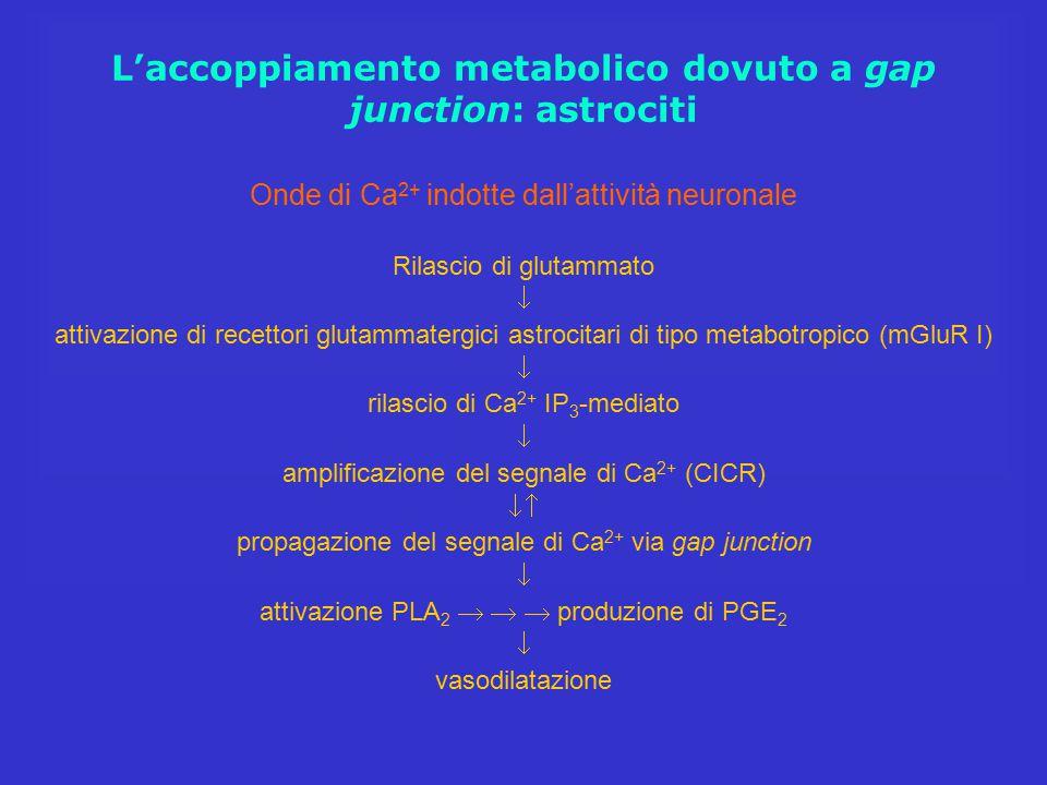 L'accoppiamento metabolico dovuto a gap junction: astrociti
