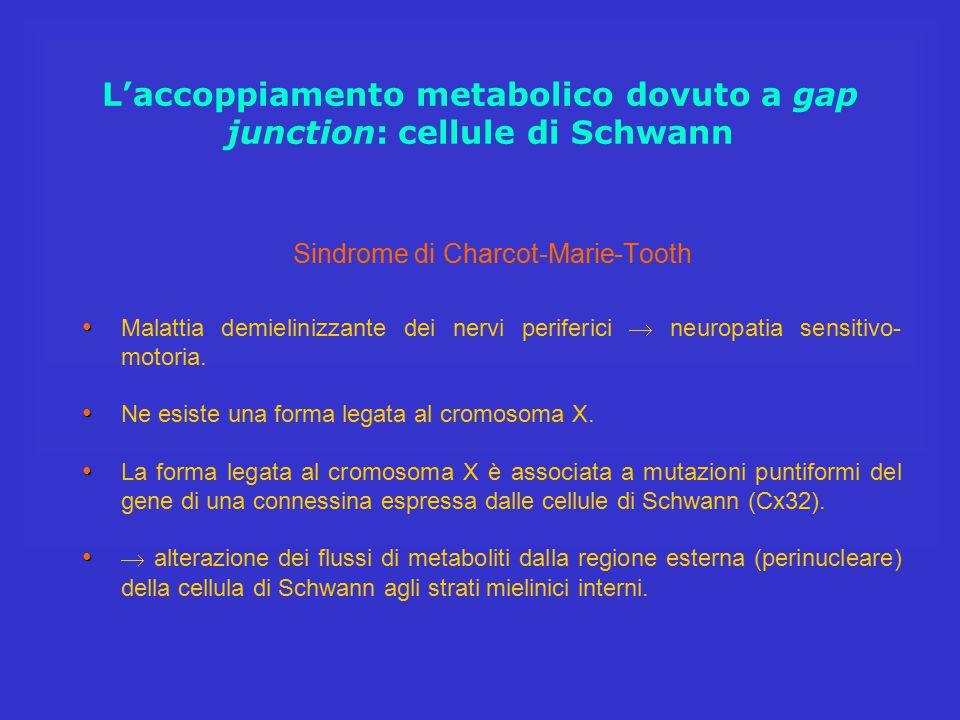 L'accoppiamento metabolico dovuto a gap junction: cellule di Schwann