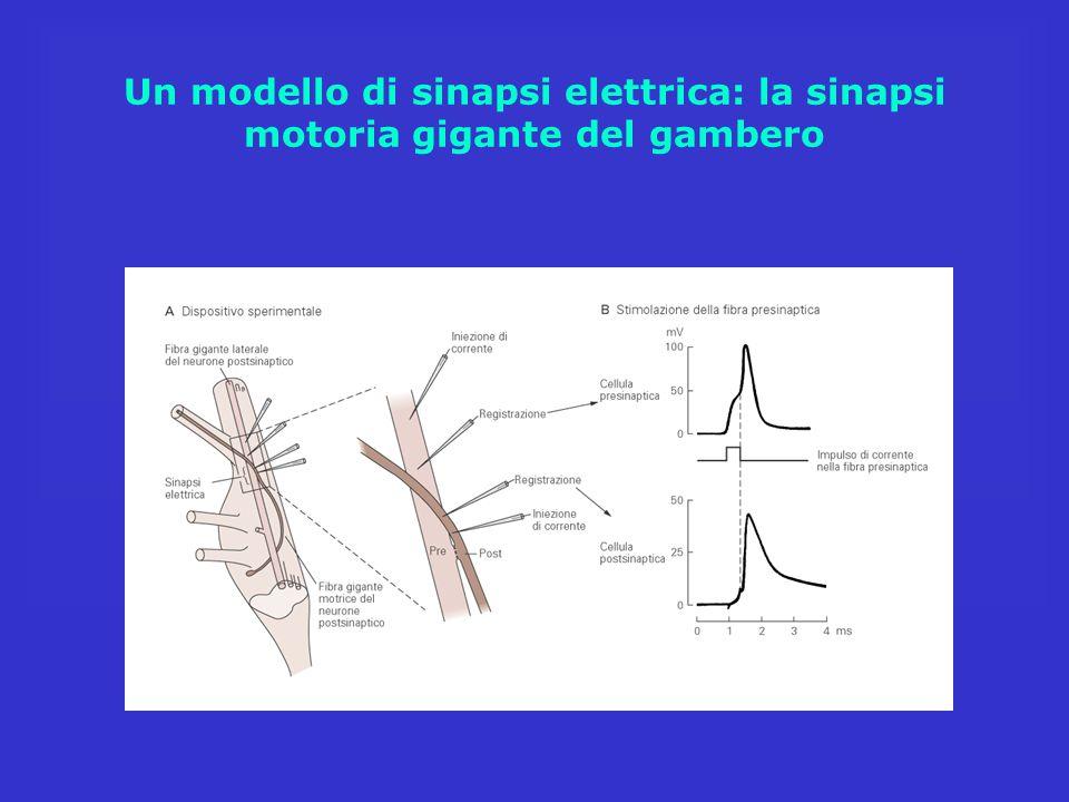 Un modello di sinapsi elettrica: la sinapsi motoria gigante del gambero