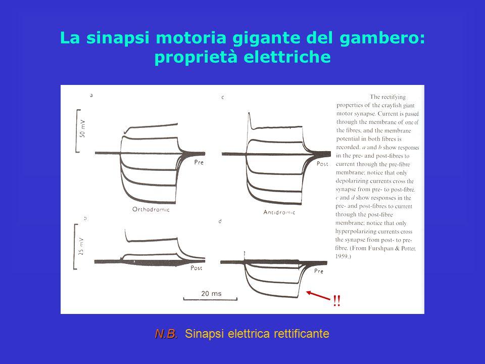 La sinapsi motoria gigante del gambero: proprietà elettriche