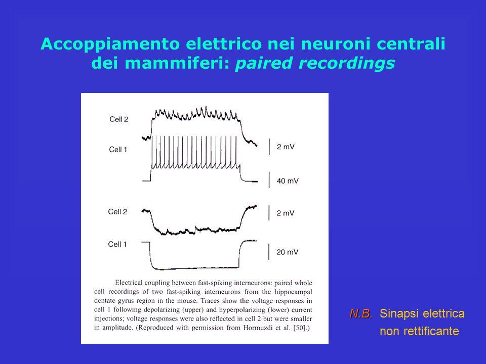 Accoppiamento elettrico nei neuroni centrali dei mammiferi: paired recordings