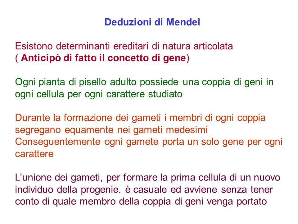 Deduzioni di Mendel Esistono determinanti ereditari di natura articolata. ( Anticipò di fatto il concetto di gene)