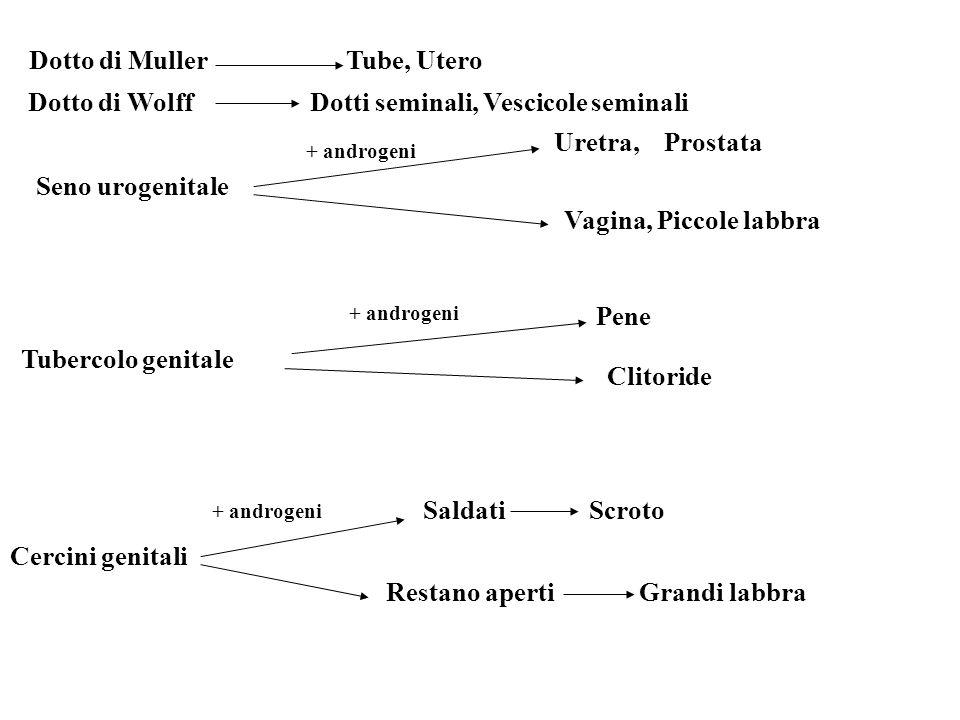 Dotto di Muller Tube, Utero