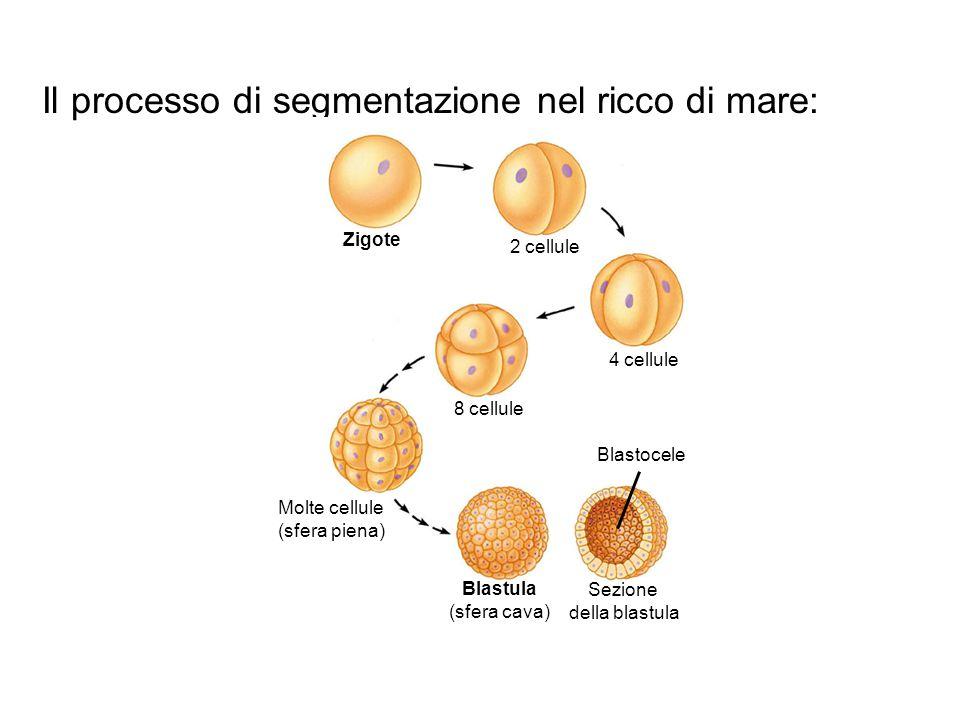 Il processo di segmentazione nel ricco di mare: