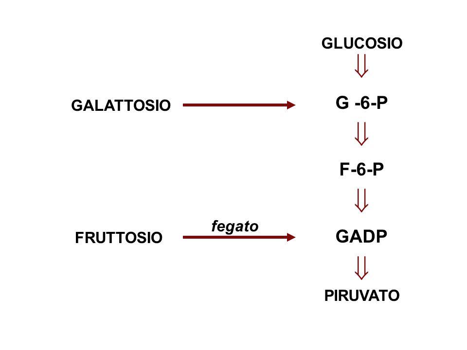 GLUCOSIO  G -6-P F-6-P GADP PIRUVATO GALATTOSIO FRUTTOSIO fegato
