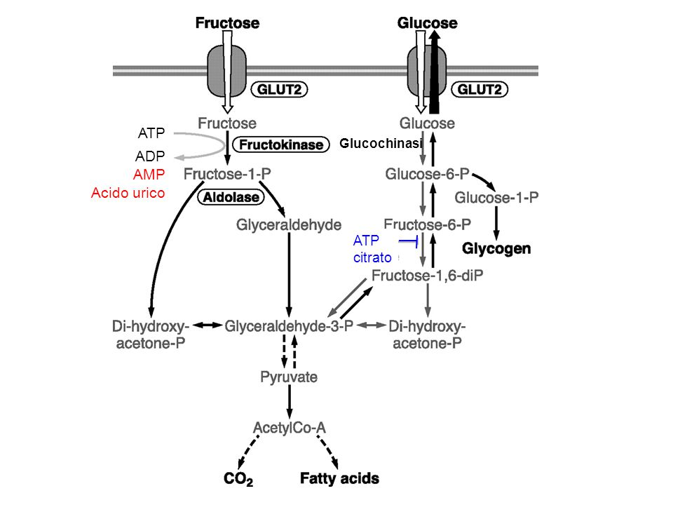 ATP ADP AMP Acido urico Glucochinasi citrato