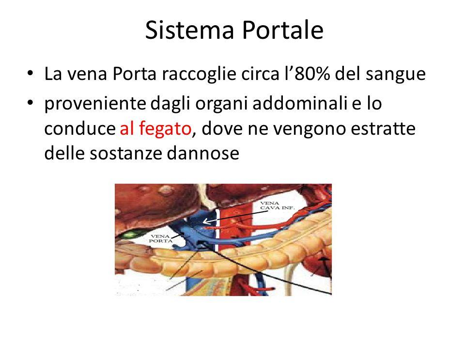 Sistema Portale La vena Porta raccoglie circa l'80% del sangue