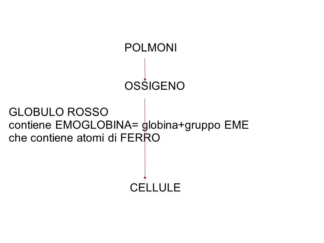POLMONI OSSIGENO. GLOBULO ROSSO. contiene EMOGLOBINA= globina+gruppo EME. che contiene atomi di FERRO.