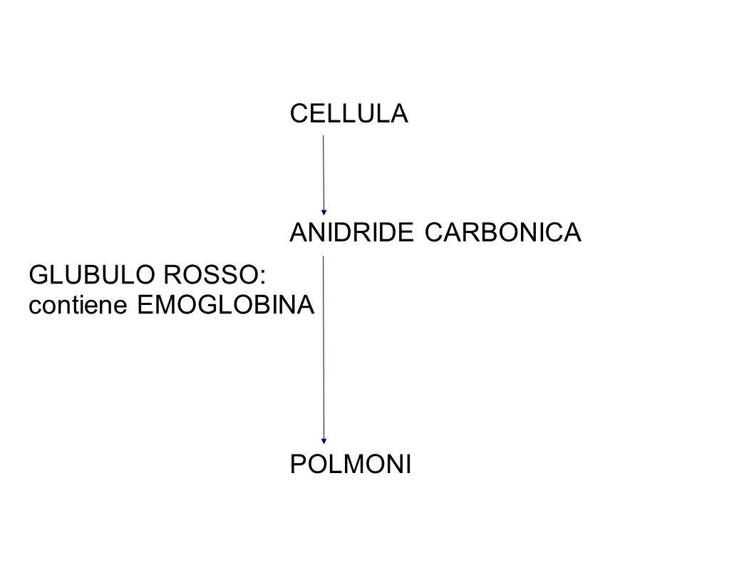 CELLULA ANIDRIDE CARBONICA GLUBULO ROSSO: contiene EMOGLOBINA POLMONI