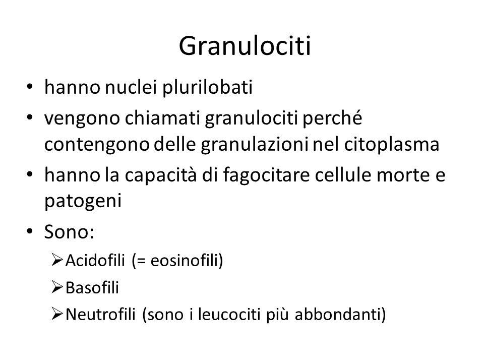 Granulociti hanno nuclei plurilobati